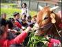 農村體驗盡在耕牛園─犁田、拉車、撿洋芋腳仔